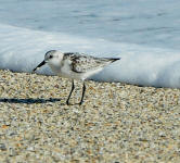 A sanderling running ahead of a wave.