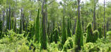 Oldworld climbing fern over growing natural Florida habitat