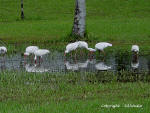 A flock of White Ibis feeding