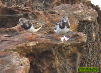 A pair of Ruddy Turnstones on a coastal limestone outcrop.