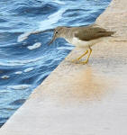 A Spotted Sandpiper, Actitis macularia