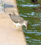 A Spotted Sandpiper hunting for a meal on a seawall.