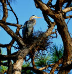 Picture of a Great Blue Heron on its nest.