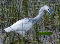A juvenile little Blue heron on the hunt in a Florida marsh.
