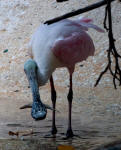 A Roseate Spoonbill caught a fish for dinner!