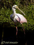 Roseate Spoonbill in a Florida marsh.