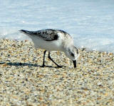 A Sanderling probes the sand for small crustaceans.