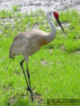 Sandhill Crane in Florida