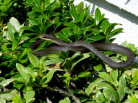 Southern Black Racer snakes are good climbers