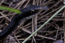Close up picture of a Southern black racer snake.