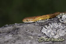 Close-up photo of Corn snake, also known as a Red rat snake.