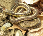 An Eastern Garter snake basking on rocks.