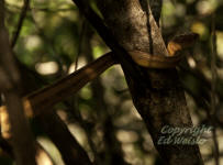 The Yellow Rat Snake in a Mangrove tree.