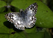 Common Checkered-Skipper Butterfly