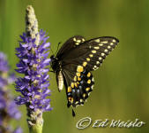 A Giant Swallowtail butterfly feeding on Pickerelweed nectar.