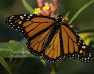 A male Monarch butterfly nectars on Milkweed flowers.