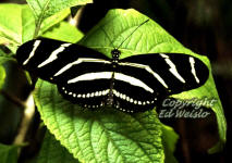 Zebra Longwing (Heliconius charitonius) Florida's state butterfly