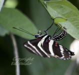 A Zebra longwing butterfly laying eggs on a Passionvine.