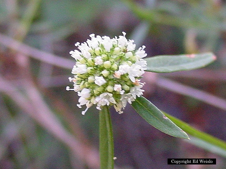 White florida wildflowers page 1 of 3 image alligator weed alternanthera philoxeroides flower mightylinksfo