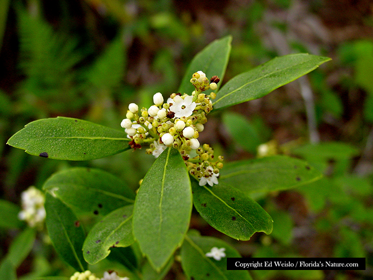 Florida native trees shrubs page 7 of 11 gallberry ilex glabra image inkberry ilex glabra flower detail image mightylinksfo
