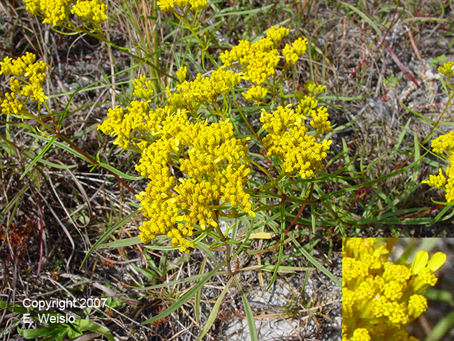Yellow florida wildflowers page 1 of 3 narrowleaf yellowtops flaveria linearis mightylinksfo