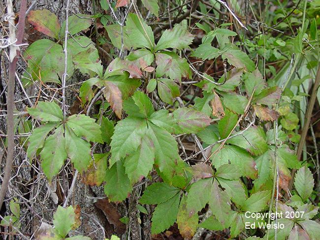 Floridas vines page 1 of 5 virginia creeper parthenocissus quinquefolia mightylinksfo