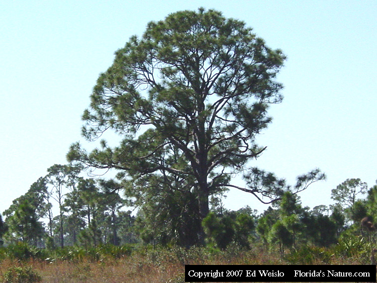 Softwood Trees In Florida ~ Florida native trees shrubs page of