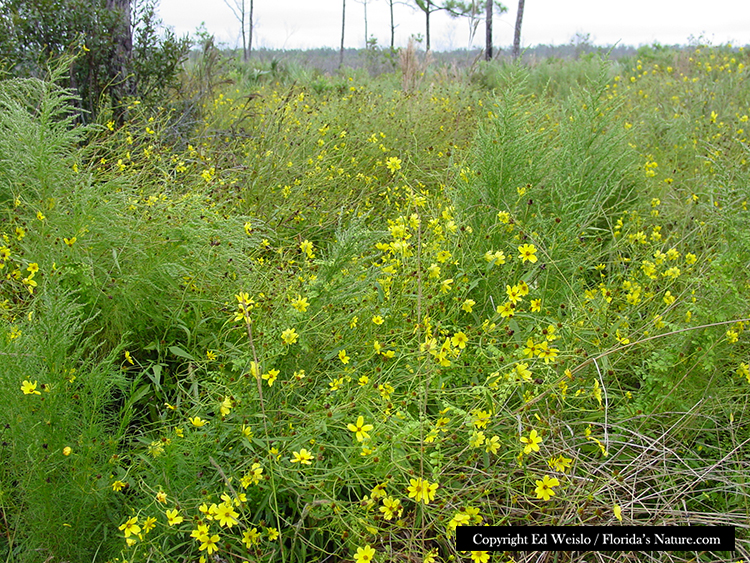Yellow florida wildflowers page 1 of 3 smallfruit begger ticks bidens mitis mightylinksfo