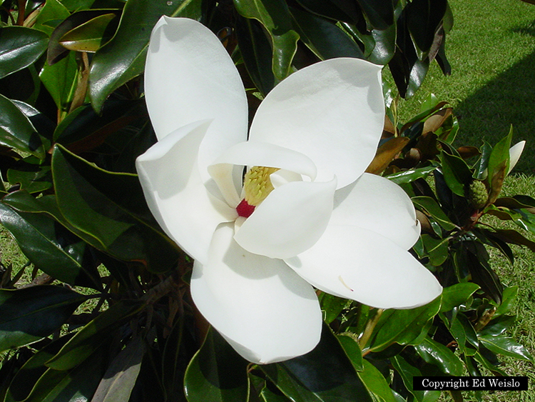 Florida native trees shrubs page 6 of 11 image southern magnolia magnolia grandiflora l flower mightylinksfo Gallery