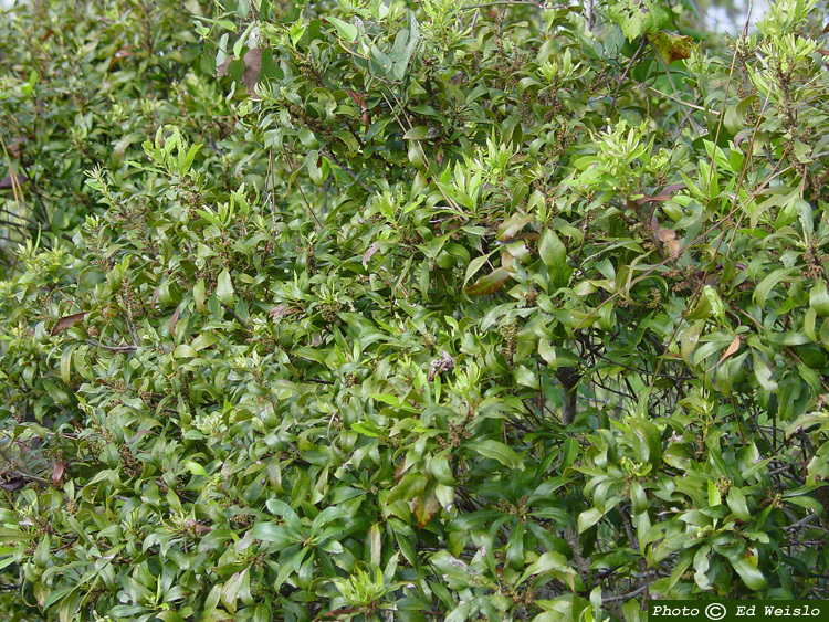 Florida native trees shrubs page 6 of 11 wax myrtle myrica cerifera mightylinksfo Images
