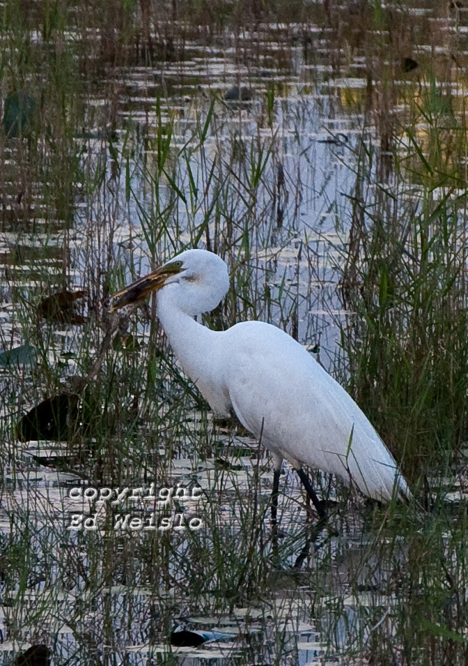 Birds Of Florida Herons And Egrets