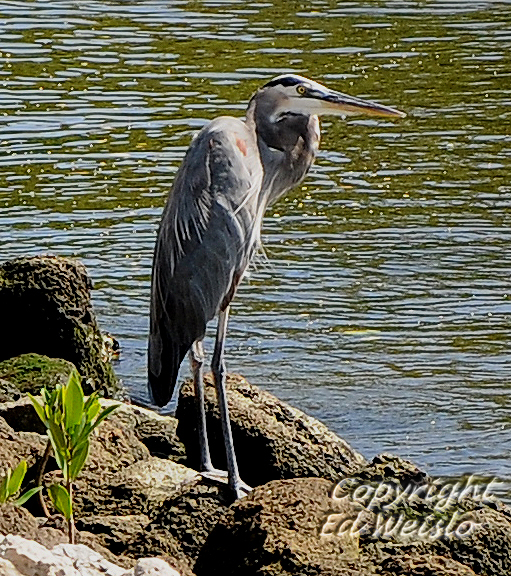 Birds of Florida - Herons and Egrets